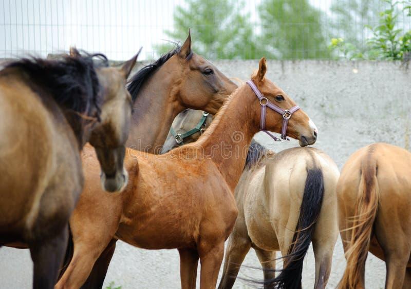 Cavalos de Akhal-teke no prado foto de stock royalty free