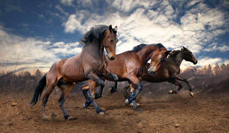 Cavalos de baía selvagens do salto