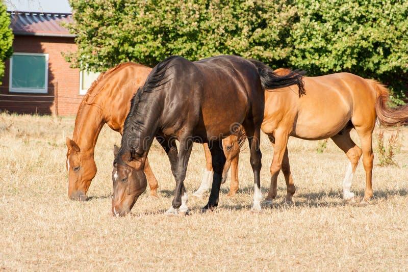 Cavalos de Brown que comem a grama em um prado Pôneis novos e bonitos na exploração agrícola foto de stock