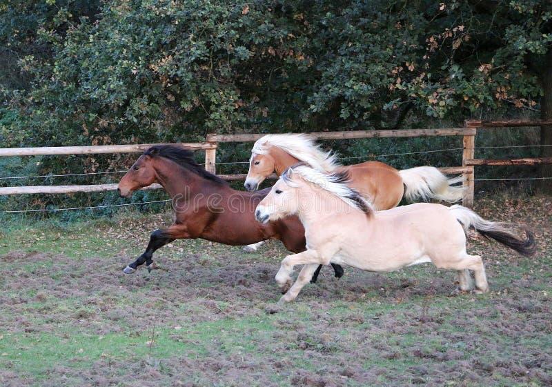 Cavalos de corrida no prado fotografia de stock royalty free
