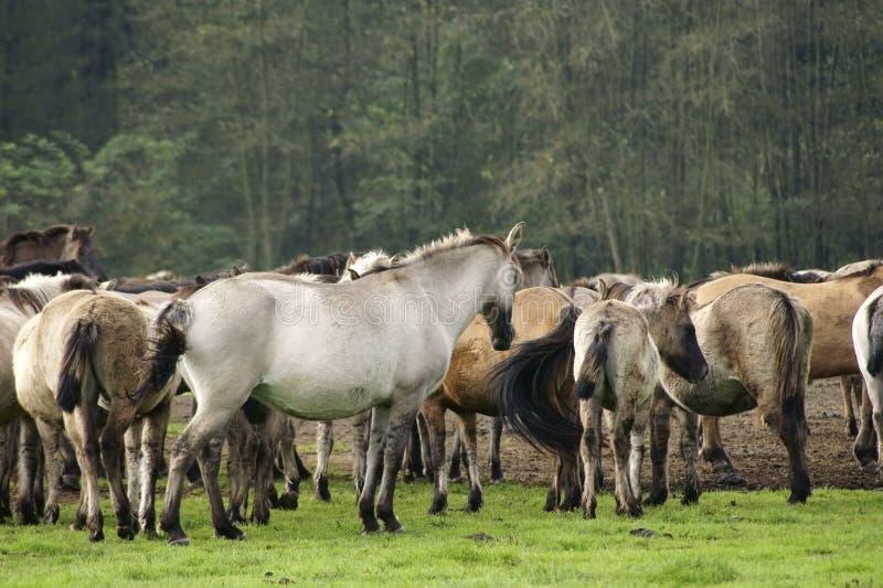 Cavalos de Duelmener imagens de stock royalty free