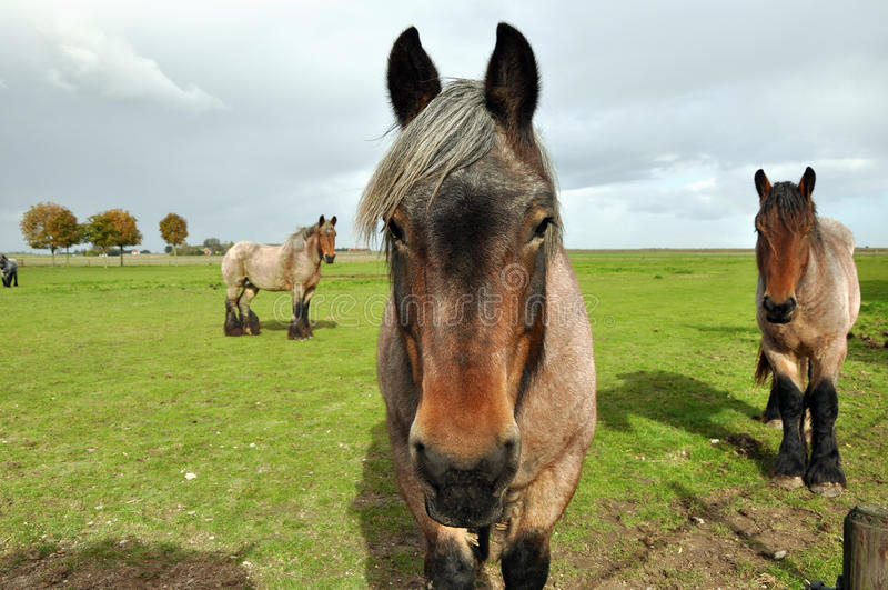 Cavalos de esboço holandeses imagem de stock