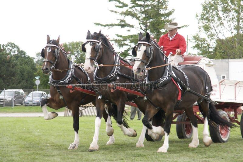Cavalos de esboço na feira agricultural
