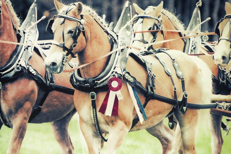 Cavalos de Haflinger do campeão fotografia de stock royalty free