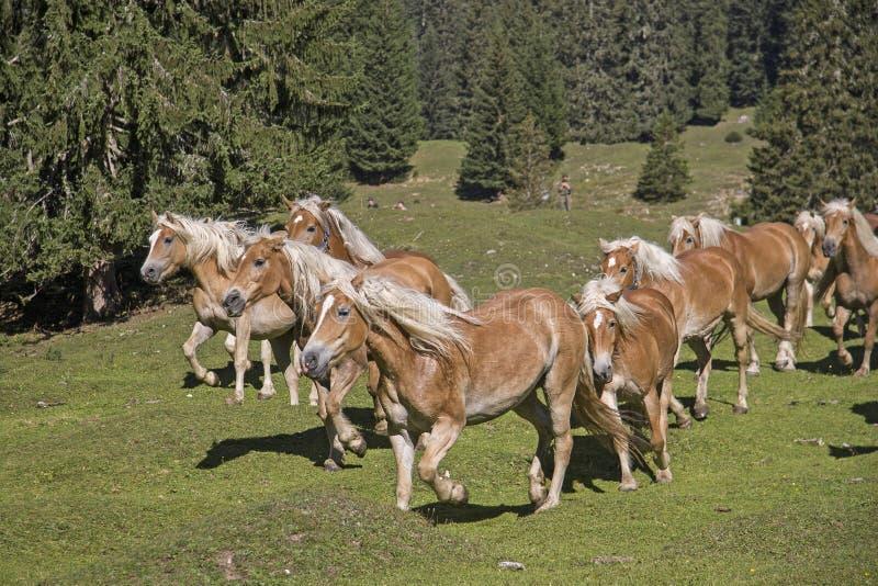 Cavalos de Haflinger em um prado da montanha imagem de stock