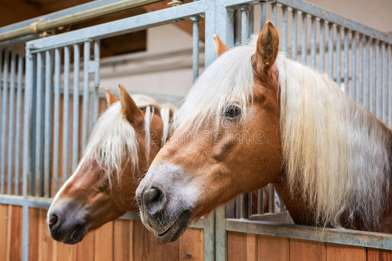 Cavalos de Haflinger no estábulo imagem de stock