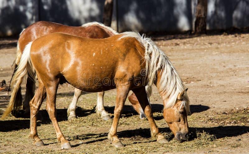 Cavalos de Haflinger que pastam fotografia de stock