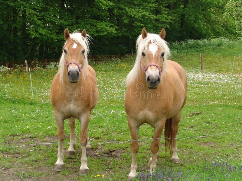 Cavalos de Harflinger fotos de stock