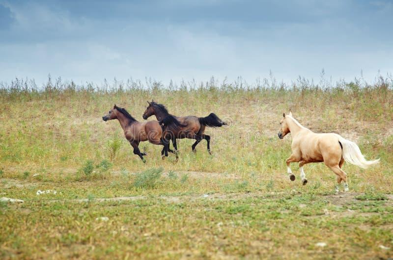 Cavalos de Kazakhstan foto de stock royalty free