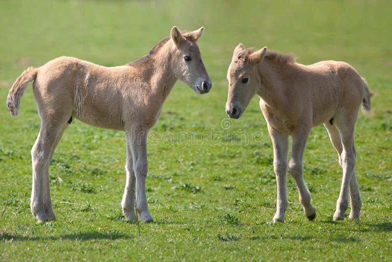 Cavalos de Konik foto de stock