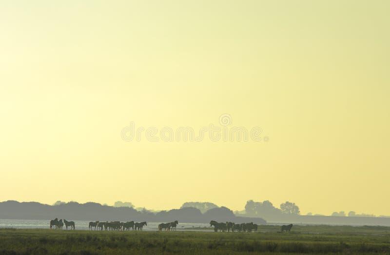 Cavalos de Konik durante o por do sol, Lauwersmeer, Holanda foto de stock