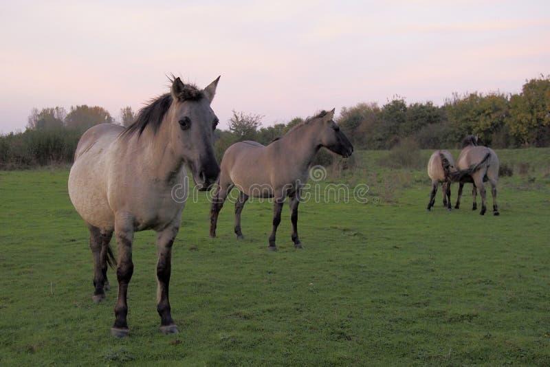 Cavalos de Konik no selvagem fotografia de stock royalty free
