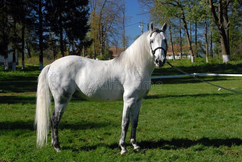 Cavalos de Lipizzan fotos de stock royalty free