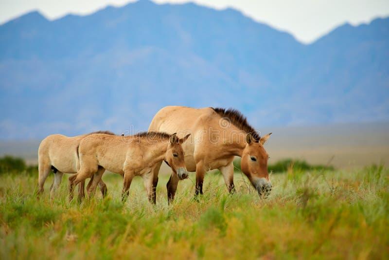Cavalos de Przewalski no Altyn Emel National Park em Cazaquistão imagem de stock