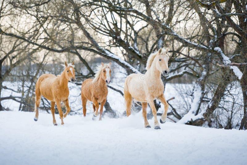 Cavalos de Yelloy que correm o galope na floresta do inverno imagem de stock royalty free