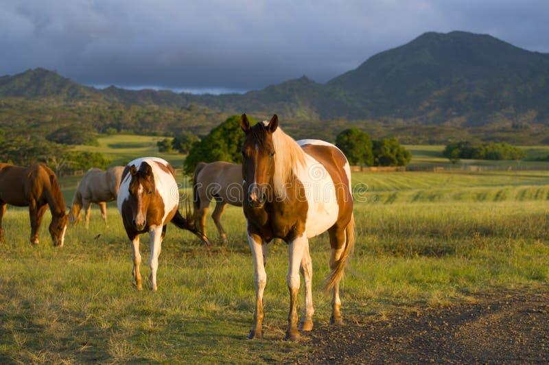 Cavalos do Appaloosa foto de stock royalty free