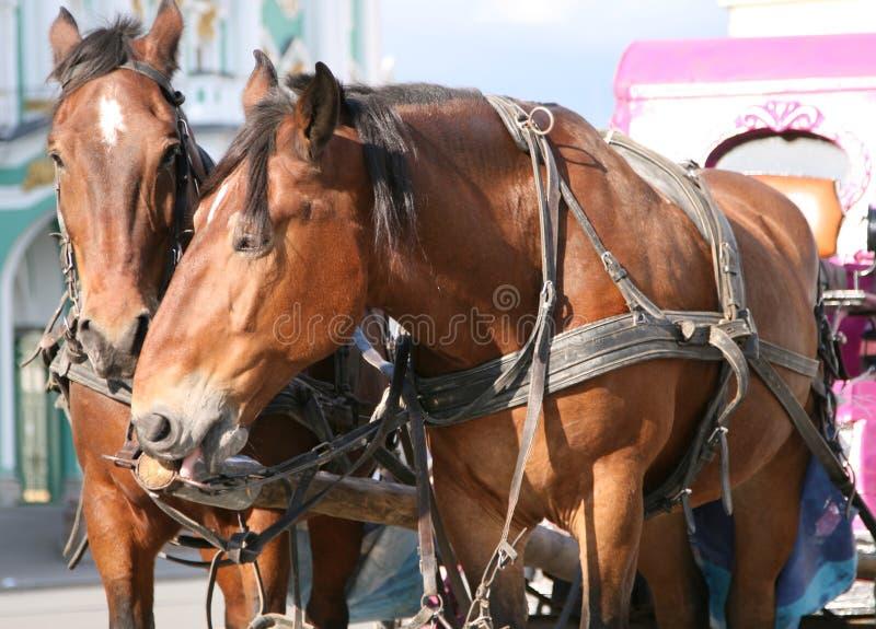 Cavalos do condado foto de stock