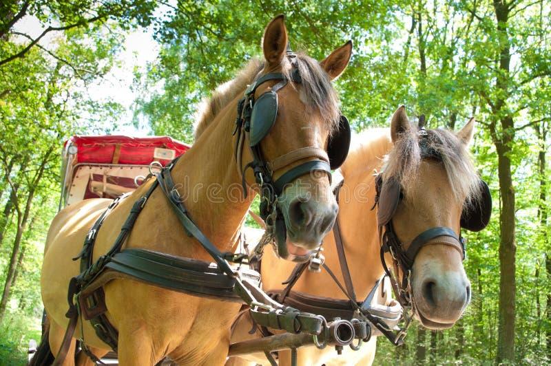 Cavalos do Fjord imagens de stock
