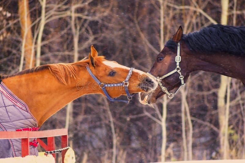 Cavalos do puro-sangue atrás da cerca foto de stock royalty free