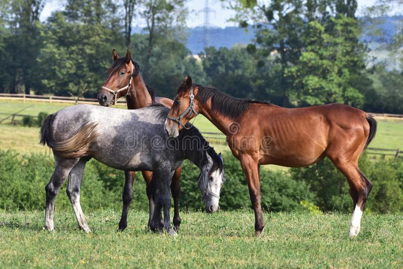 Cavalos do puro-sangue, Bunov na república checa fotos de stock royalty free