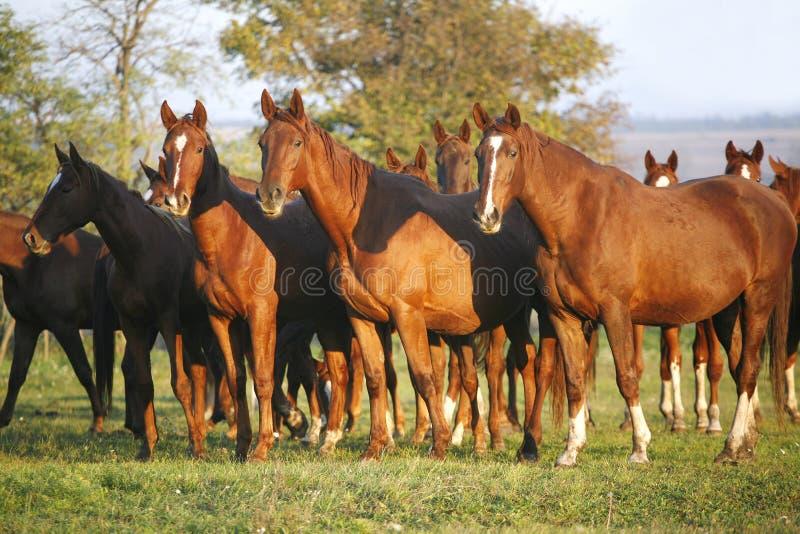 Cavalos do puro-sangue que pastam em um campo verde em Pasturelan rural imagens de stock royalty free