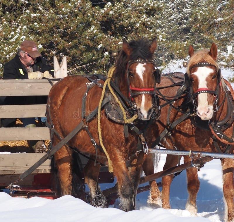 Cavalos do trenó e trenó no inverno fotografia de stock