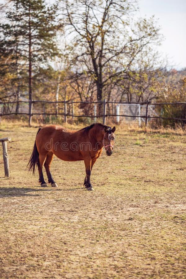Cavalos domésticos - retrato de cavalos vermelhos bonitos na exploração agrícola imagem de stock