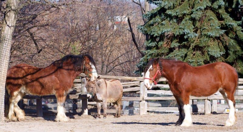 Cavalos e asno de Clydesdale imagem de stock royalty free