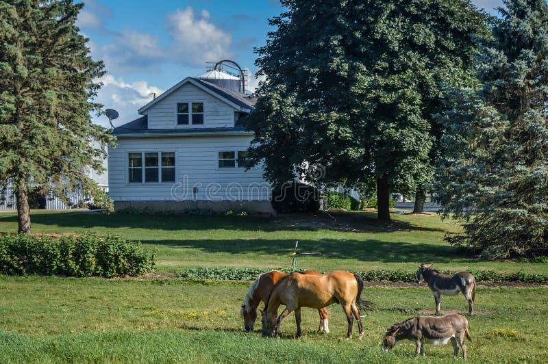 Cavalos e asnos no pasto na frente da casa branca fotos de stock royalty free