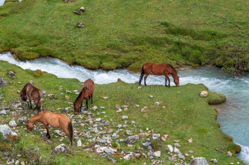Cavalos em Andes peruanos fotografia de stock