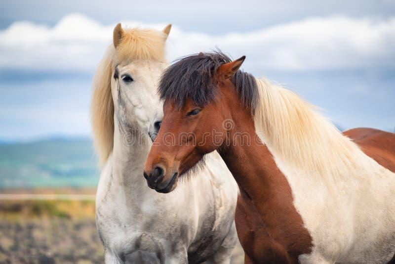 Cavalos em Isl?ndia Cavalos selvagens em um grupo Cavalos no Westfjord em Islândia Composição com animais selvagens fotografia de stock royalty free