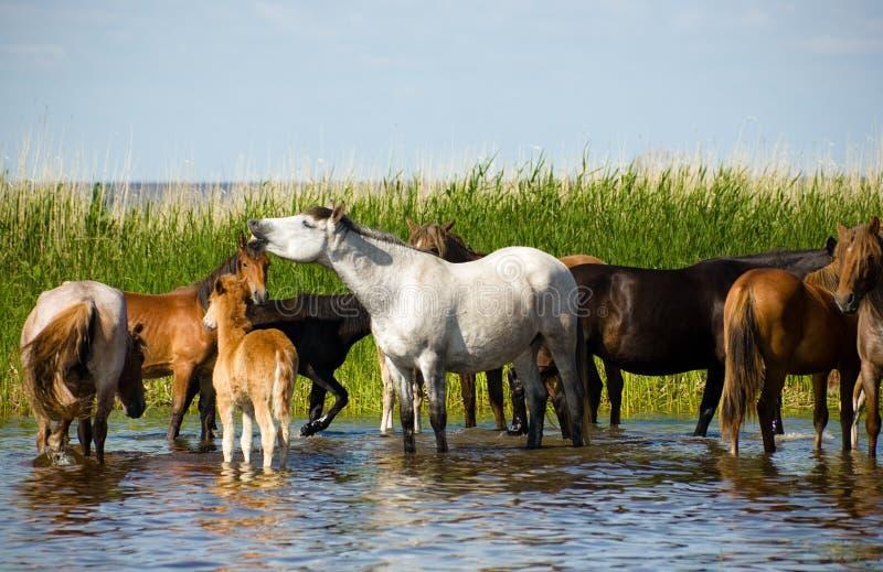 Cavalos em molhar. fotografia de stock