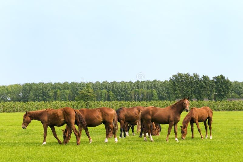 Cavalos em prados verdes imagens de stock royalty free