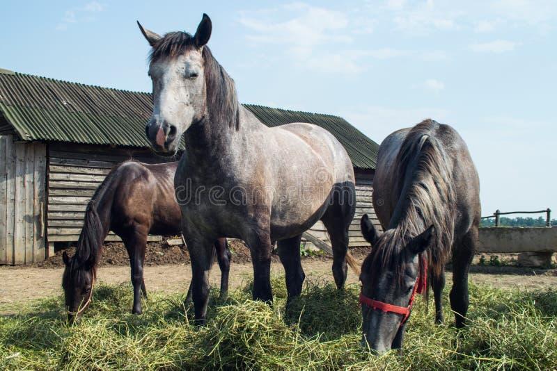 Cavalos em uma grama de pastagem coral comer que alimenta 06 fotografia de stock