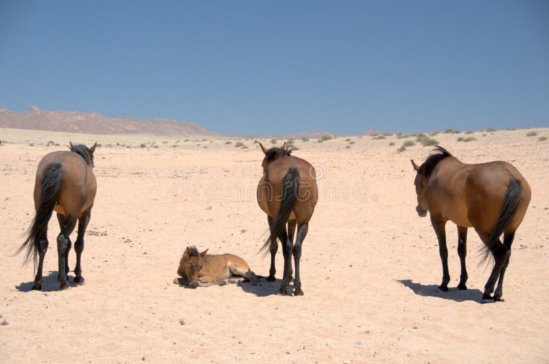 Cavalos federais do deserto de Namib - Namíbia (1) fotografia de stock royalty free
