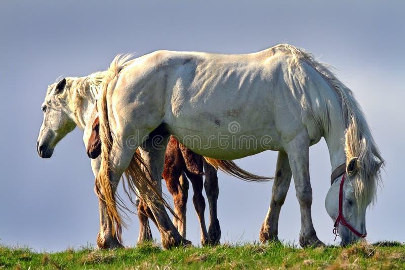 Cavalos ferozes bonitos imagens de stock royalty free
