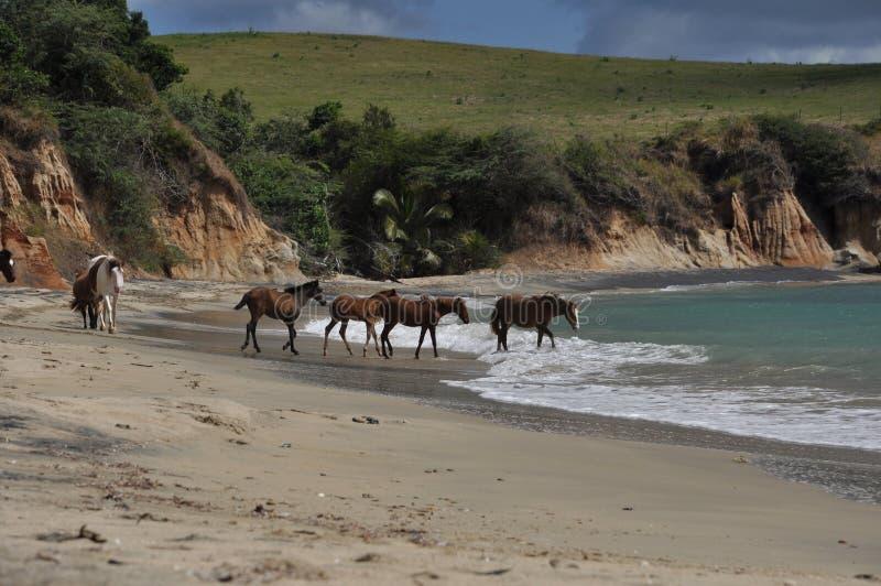 Cavalos ferozes na praia fotografia de stock royalty free
