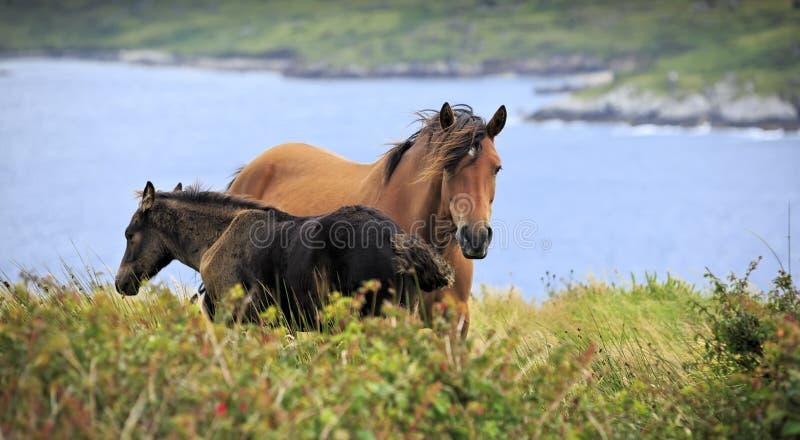 Cavalos irlandeses em montanhas de Connemara foto de stock royalty free