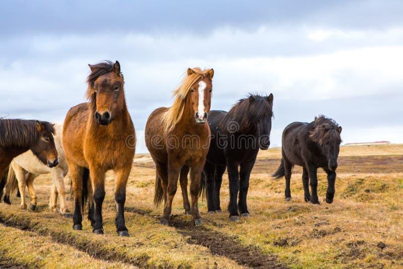 Cavalos islandêses Cavalos islandêses bonitos em Islândia Grupo de cavalos islandêses que estão no campo com fundo da montanha imagem de stock