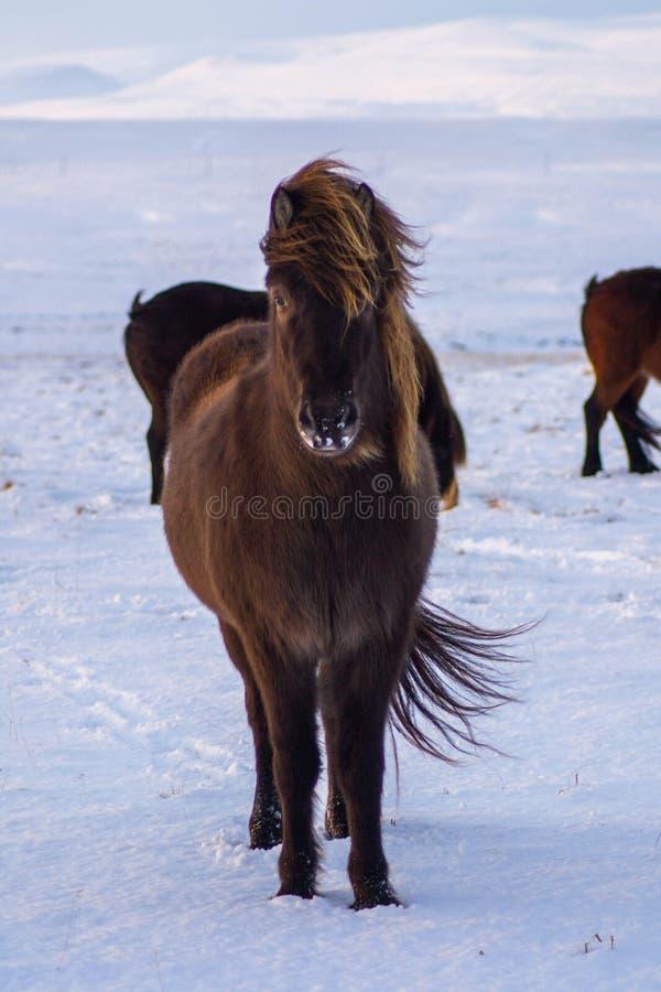 Cavalos islandêses icônicos na neve, tempo de inverno, Islândia imagens de stock