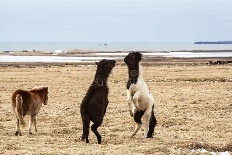 Cavalos islandêses que lutam entre si fotografia de stock royalty free