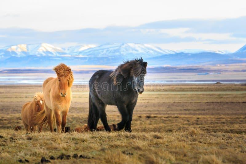 Cavalos islandêses que olham o visor na frente das montanhas cobertos de neve e de um lago fotografia de stock royalty free