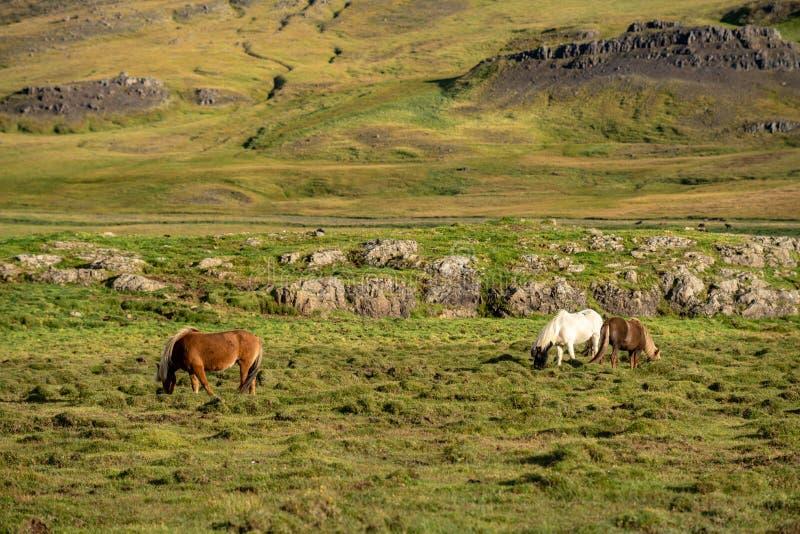 Cavalos islandêses que pastam livre em um vale verde fotos de stock