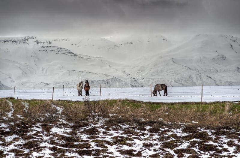 Cavalos islandeses puros após queda de neve fotos de stock royalty free