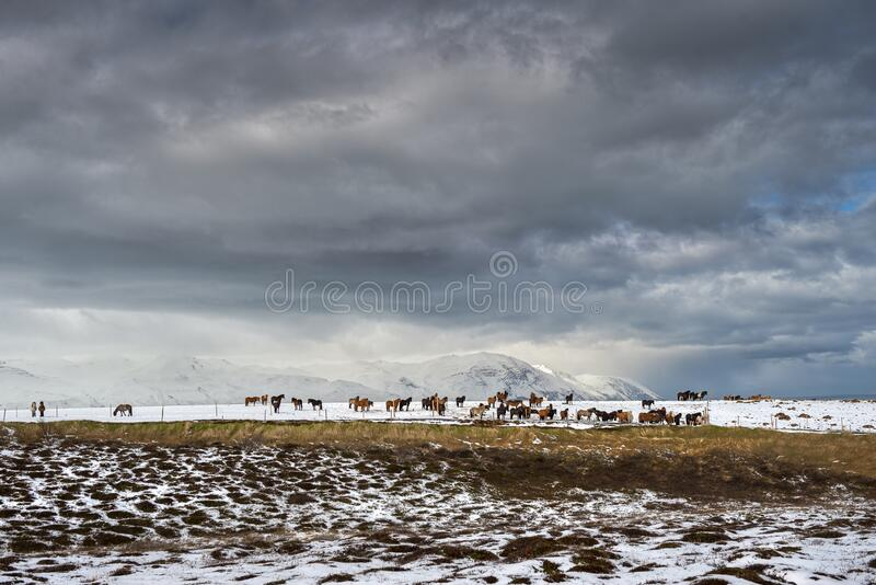 Cavalos islandeses puros após queda de neve fotografia de stock royalty free