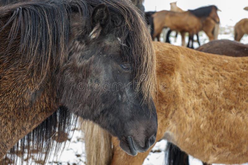 Cavalos islandeses puros após queda de neve foto de stock royalty free