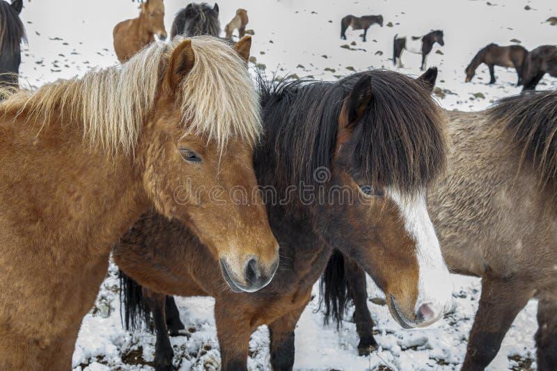 Cavalos islandeses puros após queda de neve fotos de stock