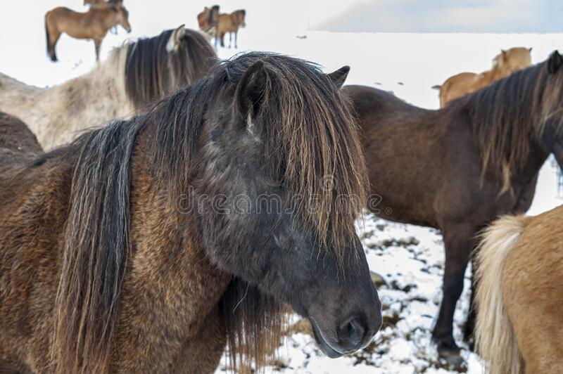 Cavalos islandeses puros após queda de neve imagem de stock