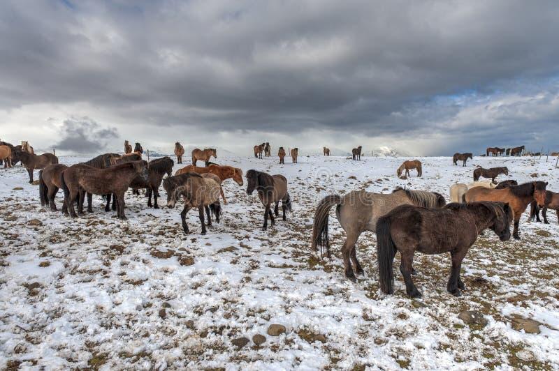 Cavalos islandeses puros após queda de neve imagens de stock