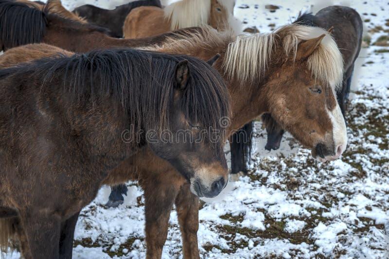 Cavalos islandeses puros após queda de neve imagem de stock royalty free